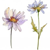 chamomiles and daisies with green leaves watercolor illustration isolated on white