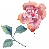 Rózsaszín rózsa botanikai virág virág. Vad tavaszi levél vadvirág elszigetelt. Akvarell háttér illusztráció készlet. Akvarell rajz divat aquarelle. Elszigetelt Rózsa ábra elem.