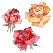 Narancssárga és piros rózsa virág botanikai virág. Vad tavaszi levél vadvirág elszigetelt. Akvarell háttér illusztráció készlet. Akvarell rajz divat aquarelle. Elszigetelt Rózsa ábra elem.