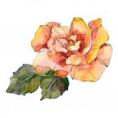 Rózsa narancs virág botanikai virág. Vad tavaszi levél vadvirág elszigetelt. Akvarell háttér illusztráció készlet. Akvarell rajz divat aquarelle. Elszigetelt Rózsa ábra elem.