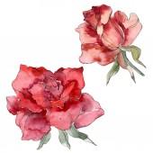 Red Rose květinové botanické květin. Divoký jarní listové wildflower izolován. Sada akvarel pozadí obrázku. Akvarel výkresu módní aquarelle. Izolované růže obrázek prvek
