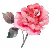 Rózsaszín rózsa botanikai virág virág. Vad tavaszi levél vadvirág elszigetelt. Akvarell háttér illusztráció készlet. Akvarell rajz divat aquarelle elszigetelt. Elszigetelt rosa ábra elem.
