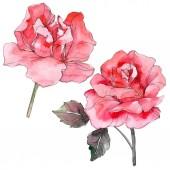 Růžové růže květinové botanické květin. Divoký jarní listové wildflower izolován. Sada akvarel pozadí obrázku. Akvarel, samostatný výkresu módní aquarelle. Izolované rosa ilustrace prvek