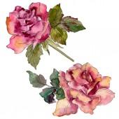 Barna rózsaszín rózsa virág botanikai virág. Vad tavaszi levél vadvirág elszigetelt. Akvarell háttér illusztráció készlet. Akvarell rajz divat aquarelle. Elszigetelt Rózsa ábra elem.