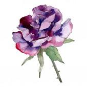 Fialová růže květinové botanické květin. Divoký jarní listové wildflower izolován. Sada akvarel pozadí obrázku. Akvarel výkresu módní aquarelle. Izolované růže obrázek prvek