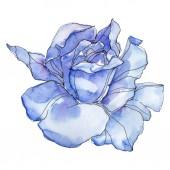 Kék Rózsa botanikai virág virág. Vad tavaszi levél vadvirág elszigetelt. Akvarell háttér illusztráció készlet. Akvarell rajz divat aquarelle. Elszigetelt Rózsa ábra elem.