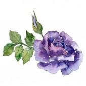 Lila Rózsa botanikai virág virág. Vad tavaszi levél vadvirág elszigetelt. Akvarell háttér illusztráció készlet. Akvarell rajz divat aquarelle. Elszigetelt Rózsa ábra elem.