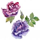 Lila a fialová růže květinové botanické květin. Divoký jarní listové wildflower izolován. Sada akvarel zázemí. Akvarel výkresu módní aquarelle. Izolované růže obrázek prvek