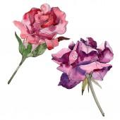 Vörös és lila virágos botanikai rózsaszirom. Vad tavaszi levél vadvirág elszigetelt. Akvarell háttér illusztráció készlet. Akvarell rajz divat aquarelle. Elszigetelt Rózsa ábra elem.