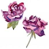 Lila virágos botanikai rózsaszirom. Vad tavaszi levél vadvirág elszigetelt. Akvarell háttér illusztráció készlet. Akvarell rajz divat aquarelle. Elszigetelt Rózsa ábra elem.