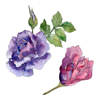 Red and purple rose floral botanical flowers. Wild spring leaf wildflower isolated. Watercolor background illustration set. Watercolour drawing fashion aquarelle. Isolated rose illustration element. stock vector