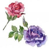 Fényképek Vörös és lila virágos botanikai rózsaszirom. Vad tavaszi levél vadvirág elszigetelt. Akvarell háttér illusztráció készlet. Akvarell rajz divat aquarelle. Elszigetelt Rózsa ábra elem