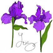 Vektor lila virágos botanikai Irisz. Vad tavaszi levél vadvirág elszigetelt. Vésett tinta art. Elszigetelt iris ábra elem.