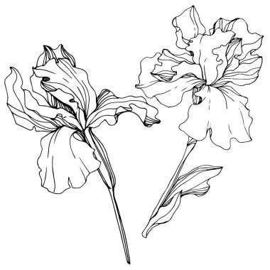 Vector Iris floral botanical flower. Wild spring leaf wildflower isolated. Black and white engraved ink art. Isolated iris illustration element. stock vector