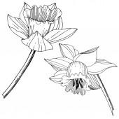 Vektorové Narcis květinové botanické květin. Divoký jarní listové wildflower izolován. Černá a bílá vyryto inkoust umění. Izolované Narcis obrázek prvek na bílém pozadí.