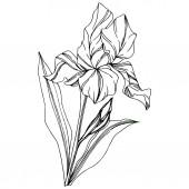 Vektorová květinová botanická květina Iris. Divoký jarní list volně žijících květin izolován. Černobílý rytý inkoust. Izolovaný duhovka ilustrační prvek na bílém pozadí.