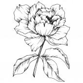 Vektor pünkösdi rózsa virág botanikai virág. Vad tavaszi levél vadvirág elszigetelt. Fekete-fehér vésett tinta art. Elszigetelt bazsarózsa ábra elem.