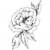 Vektorové Pivoňka květinové botanické květin. Divoký jarní listové wildflower izolován. Černá a bílá vyryto inkoust umění. Prvek ilustrace izolované Pivoňka.