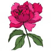 Vektor rózsaszín pünkösdi rózsa virág botanikai virág. Vad tavaszi levél vadvirág elszigetelt. Vésett tinta art. Elszigetelt bazsarózsa ábra elem fehér háttér.