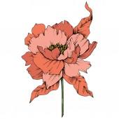 Vektor narancs pünkösdi rózsa virág botanikai virág. Vad tavaszi levél vadvirág elszigetelt. Vésett tinta art. Elszigetelt bazsarózsa ábra elem fehér háttér.