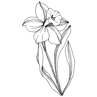 Vector Narcissus floral botanical flower. Wild spring leaf wildflower isolated. Black and white engraved ink art. Isolated narcissus illustration element. clip art vector