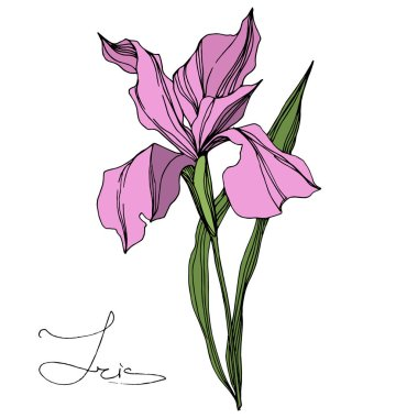 Vector Pink Iris isolated on white. Engraved ink art. Isolated iris illustration element on white background. stock vector