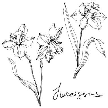 Vector narcissus flowers illustration isolated on white. Black and white engraved ink art. stock vector