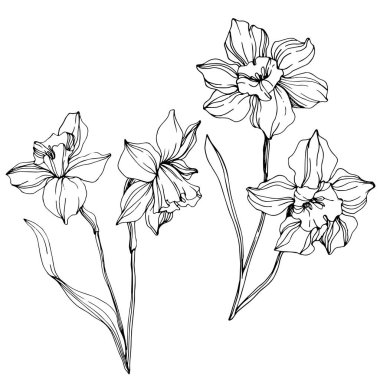 Vector narcissus flowers illustration isolated on white. Black and white engraved ink art. clip art vector