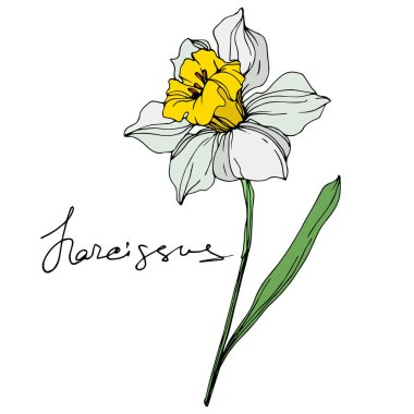Vector narcissus flower illustration element on white background with lettering
