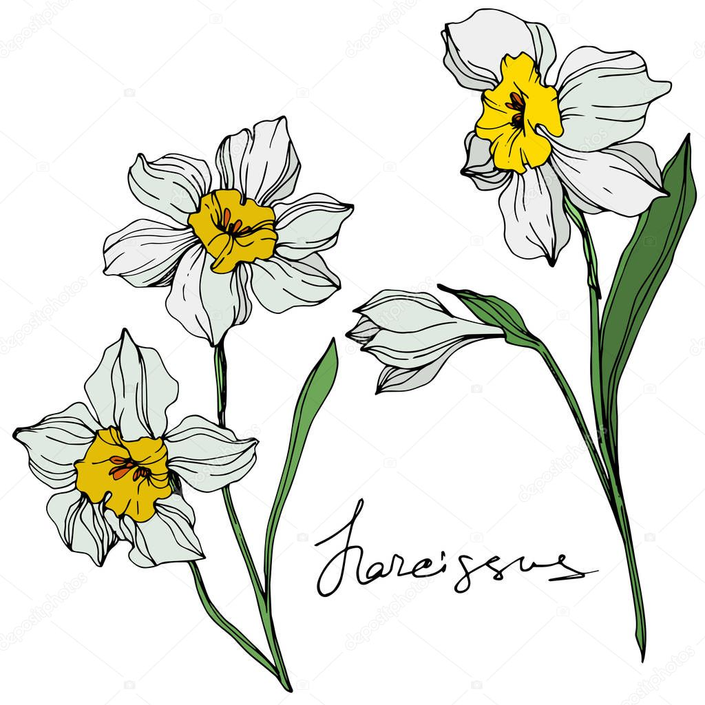 Vector colorful narcissus flowers illustration isolated on white with handwritten inscription