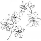 Vektor fekete orchidea virágok izolált fehér. Gravírozott tinta művészet.
