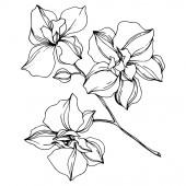 Černé květy orchidejí izolované na bílém. Ryté inkoustové kresby.