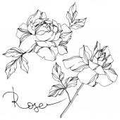 Vektorové černé a bílé růže s listy ilustrace