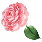 Růžová Kamelie květinové botanické květiny. Vodný obrázek pozadí-barevný. Izolovaná Camelie-ilustrace.