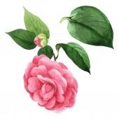 Pink Camelia virágos botanikai virágok. Akvarell háttér illusztráció meg. Elszigetelt Camelia illusztráció elem.