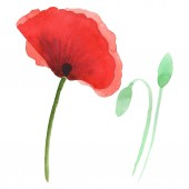 Fotografie Red poppies isolated on white. Watercolor background illustration set.