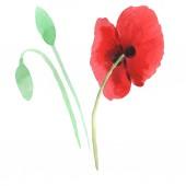 Červené makky izolované na bílém. Akvarel – sada ilustrace.
