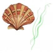 Seashell a mořské řasy izolované na bílém. Akvarel – sada ilustrace.
