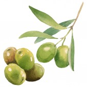 Fresh olives with green leaves isolated on white watercolor background illustration elements