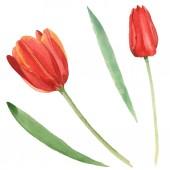 Piros tulipán, zöld levelei fehéren izoláltak. Akvarell háttérillusztráció-készlet.