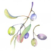 Olive branches with green fruit and leaves. Watercolor background illustration set.