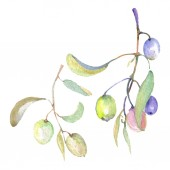 Fotografia Olive branches with green fruit and leaves. Watercolor background illustration set.