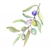 Fényképek Olive branch with green fruit and leaves isolated on white. Watercolor background illustration set.