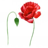 Red poppy flower with green bud isolated on white. Watercolor background illustration set.