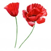 Red poppies isolated on white. Watercolor background illustration set.