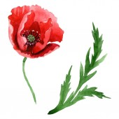 Piros mák virág Zöld levél izolált fehér. Akvarell háttérillusztráció-készlet.