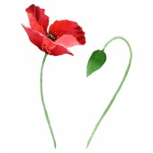 Fotografie Red poppy flower with green bud isolated on white. Watercolor background illustration set.