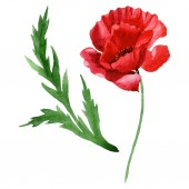 Red poppy flower with green leaf isolated on white. Watercolor background illustration set.