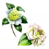 White camellia flowers with green leaves isolated on white. Watercolor background set.