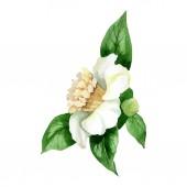 Bílý květ kamélie se zelenými listy izolovanými na bílém. Nastavení pozadí akvarelu.